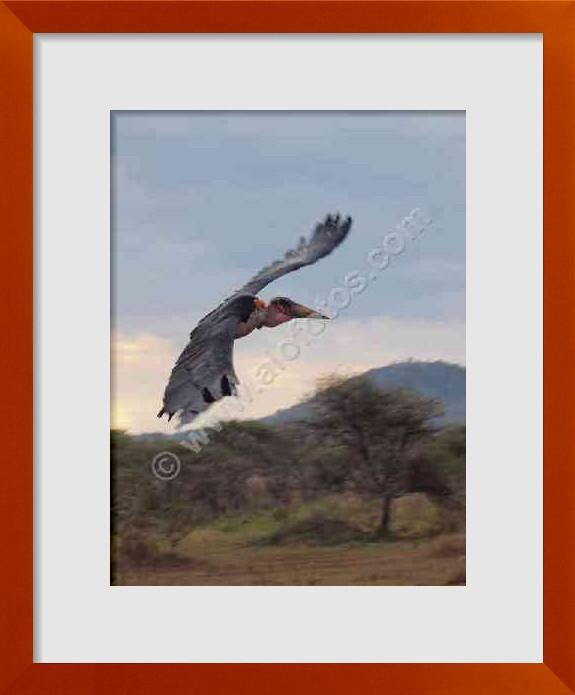 fotos de Aves de Tanzania