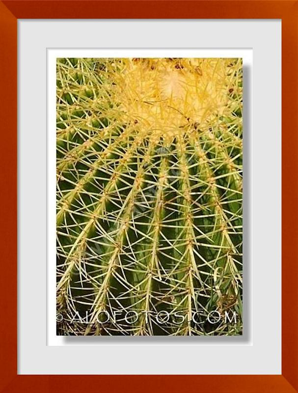 fotos de Echinocactus grusonii