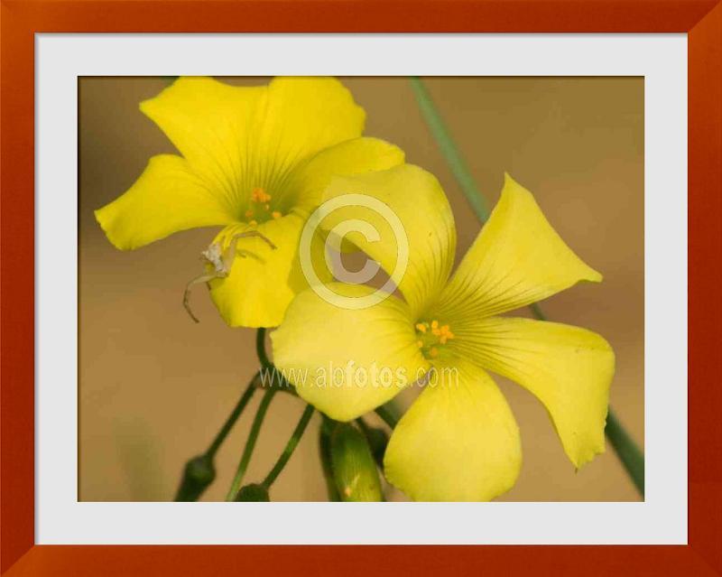 Galeria de fotos de Flores amarillas con arana
