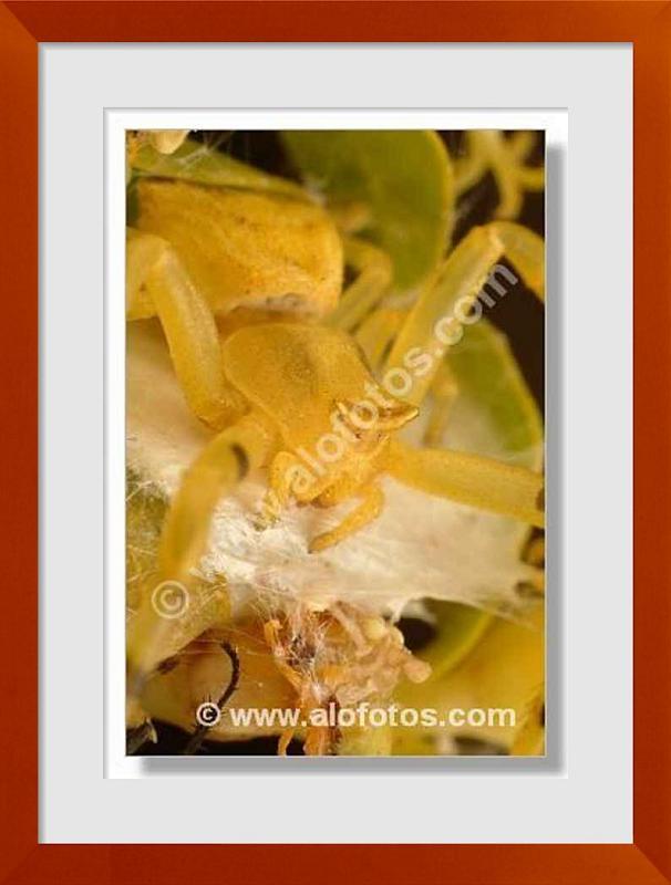fotos de aranas amarillas