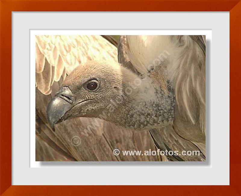 fotos de aves carroneras