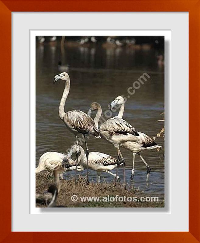 fotos de aves zancudas