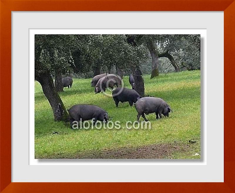 fotos de cerdos ibericos