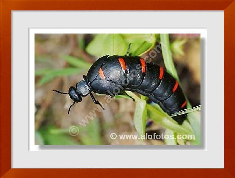 fotos de escarabajos