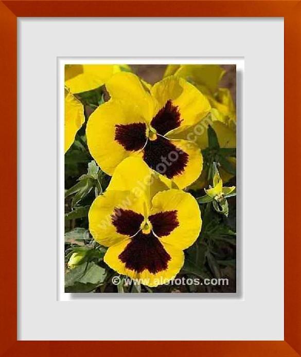 fotos de flores comestibles