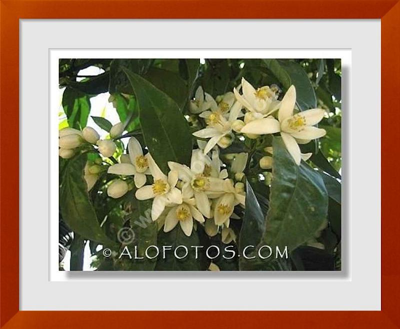 fotos de flores de azahar