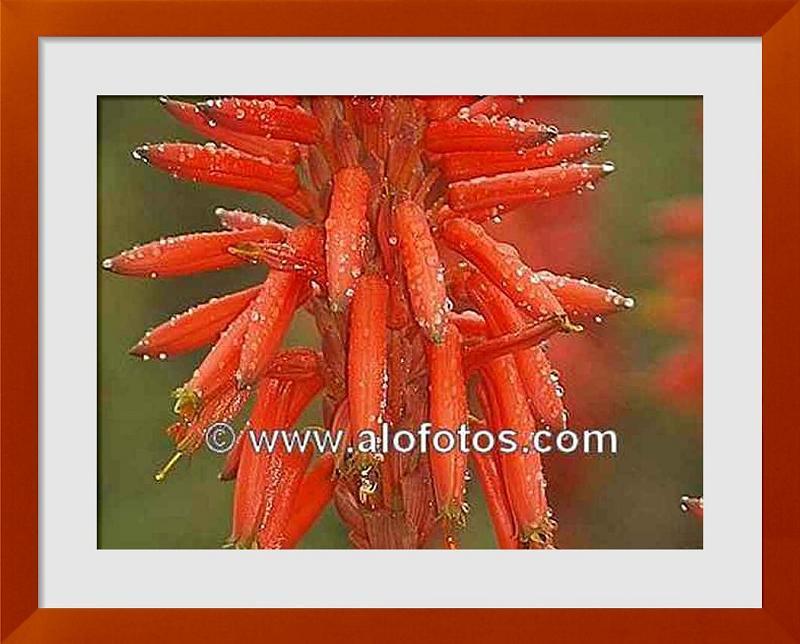 fotos de flores rojas