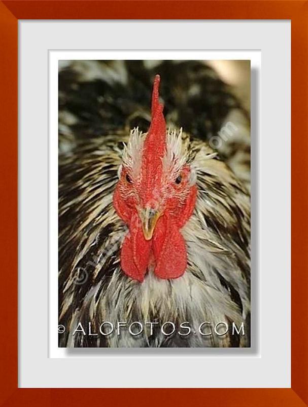 fotos de gallos