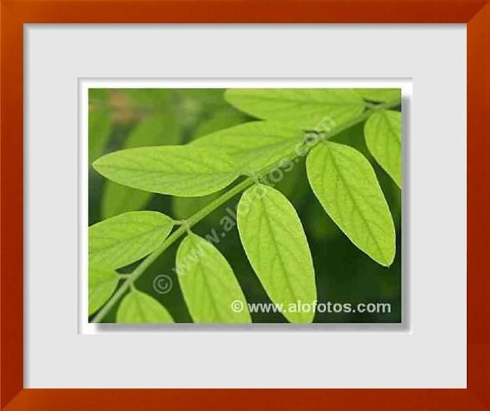 fotos de hojas compuestas