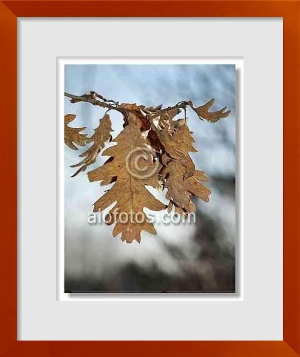 fotos de hojas de roble