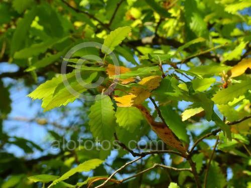 fotos de hojas lobuladas