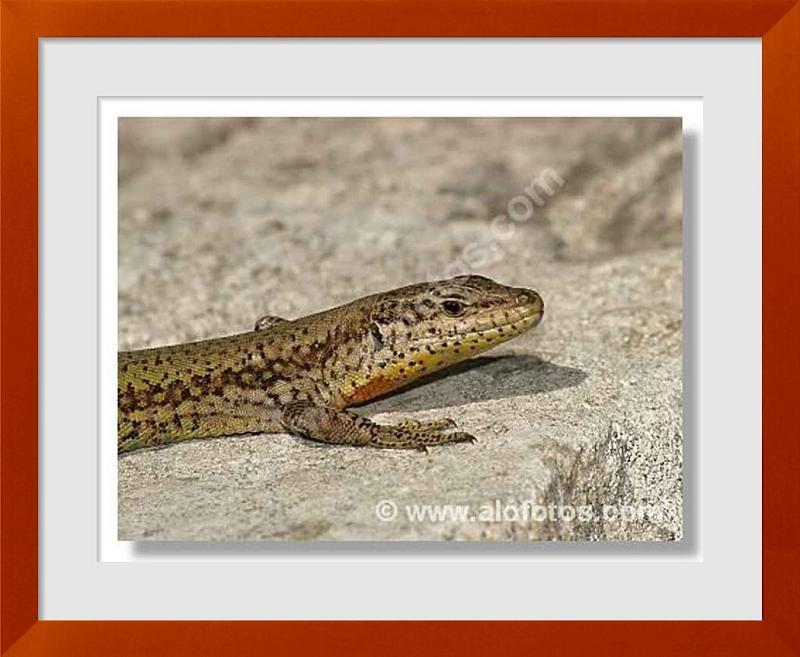 fotos de lagartijas
