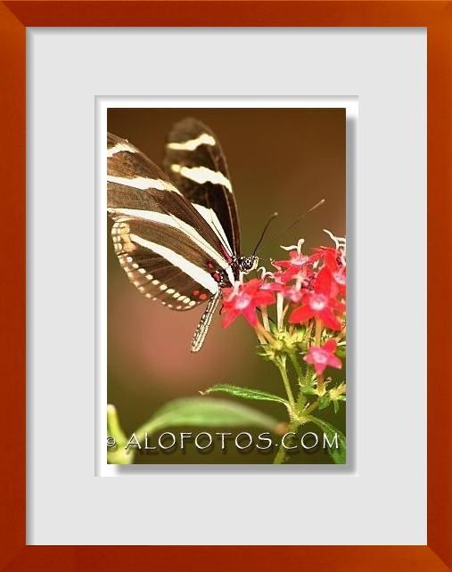 fotos de lepidopteros