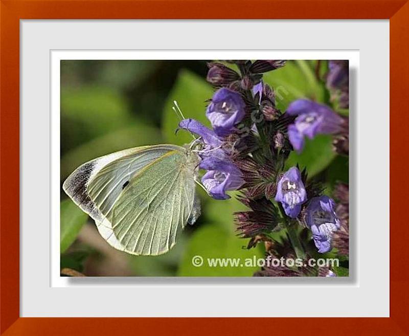 fotos de mariposas blancas