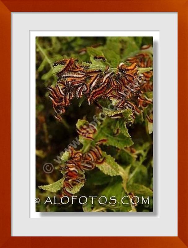 fotos de orugas peludas