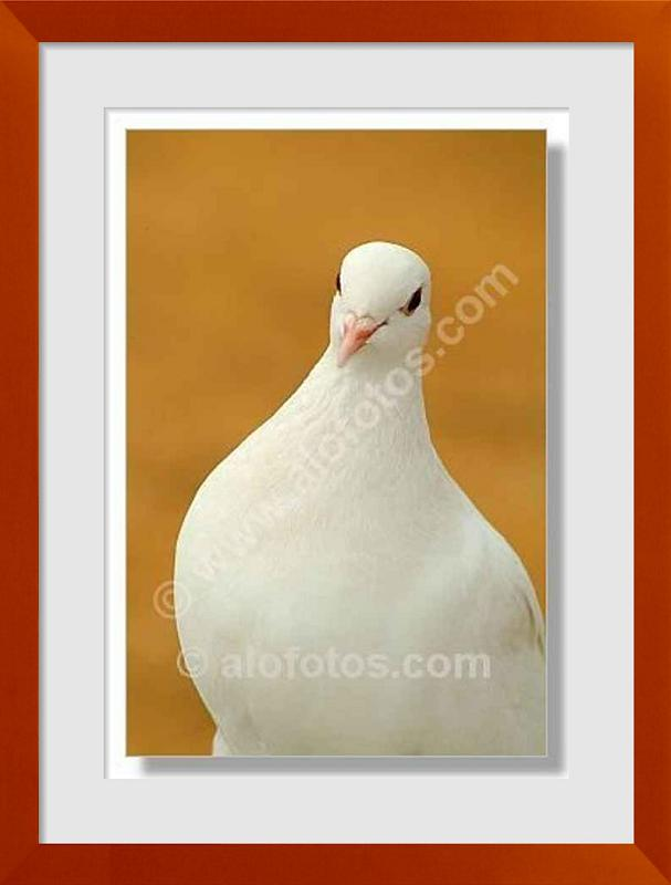 fotos de paloma blanca