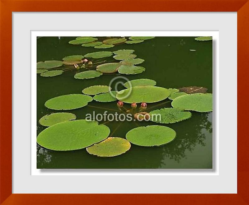 fotos de plantas acuaticas