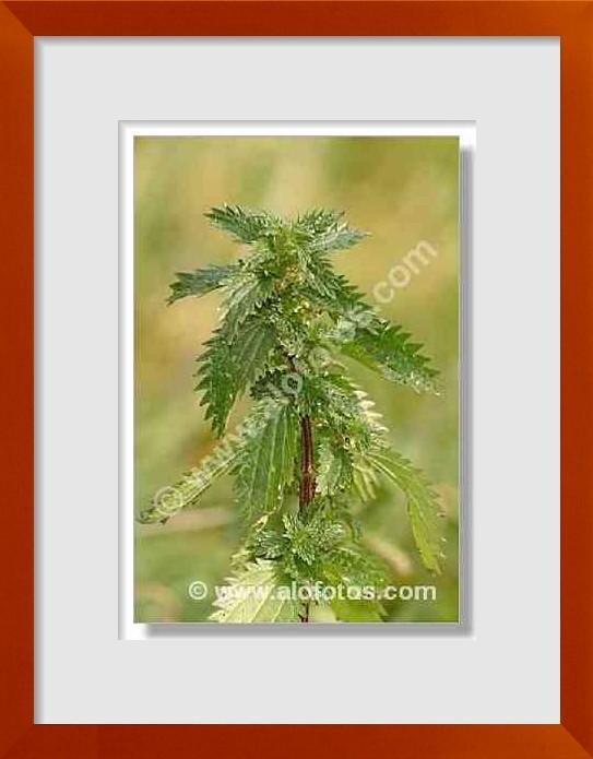 fotos de plantas irritantes