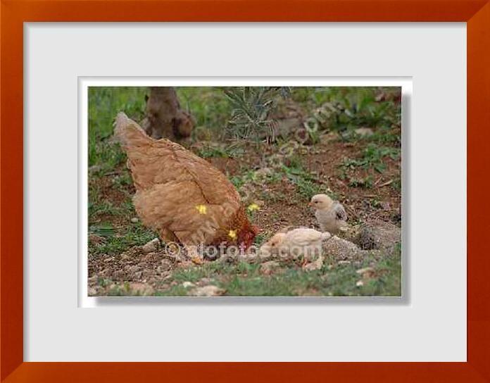 fotos de pollos