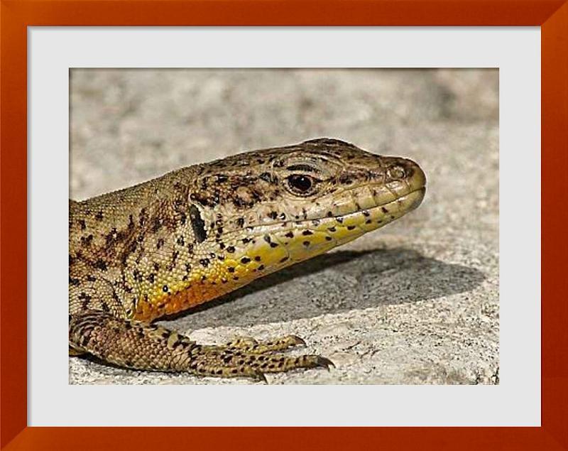 fotos de reptil