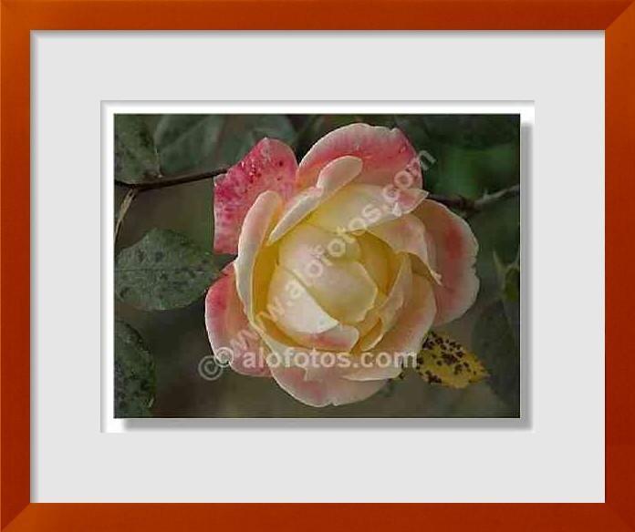 Fotos de rosas amarillas ejemplos tipos y nombres - Clases de flores amarillas ...