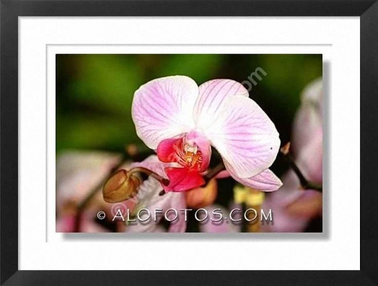 orquidea, Phalaenopsis