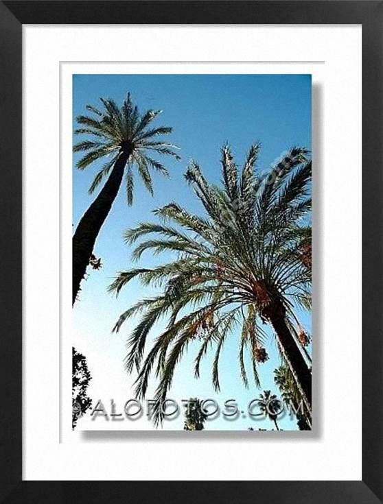 Phoenix dactylifera, arboles, palmeras