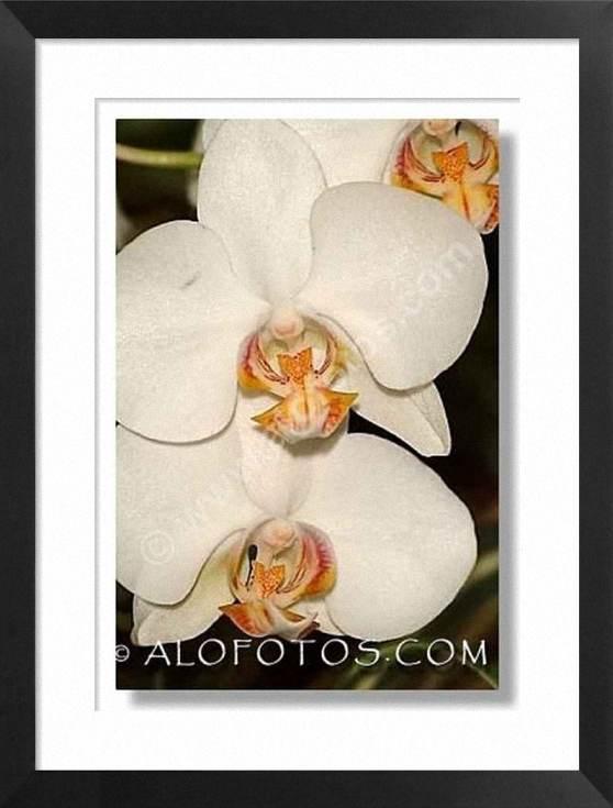 Phalaenopsis, Orquideas