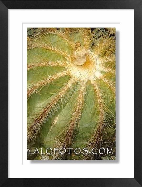Parodia magnifica, cactus