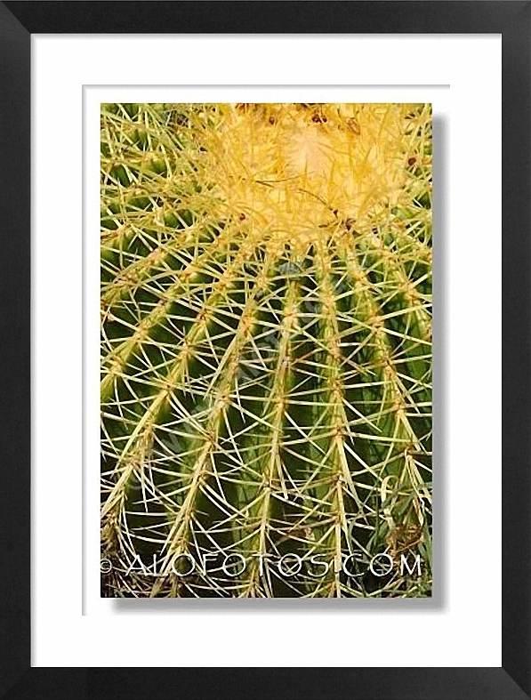 Textura, Echinocactus grusonii