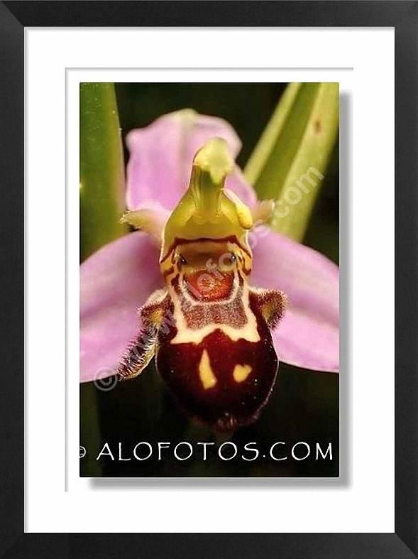 Ophrys apifera, orquidea