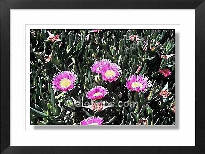 Flores, Carpobrotus acinaciformis