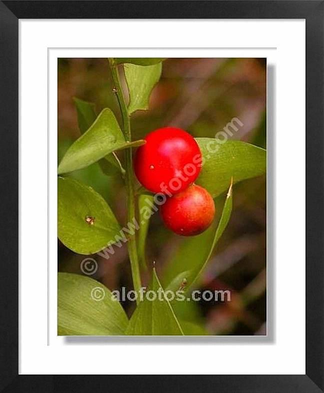 Ruscus aculeatus, frutos