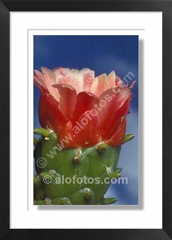 Cactus, Cylindropuntia subulata