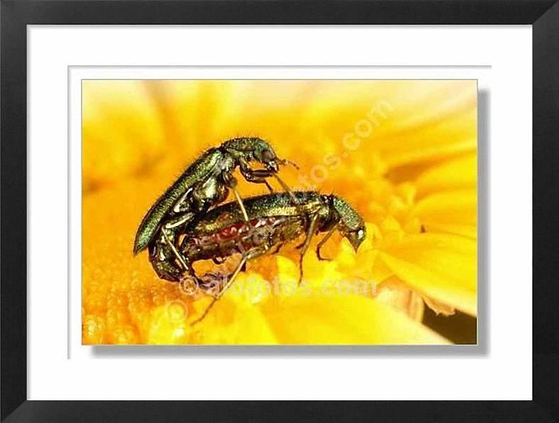 reproducción en insectos