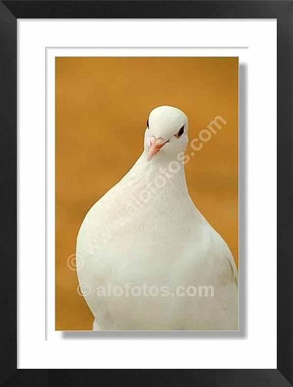 paloma blanca