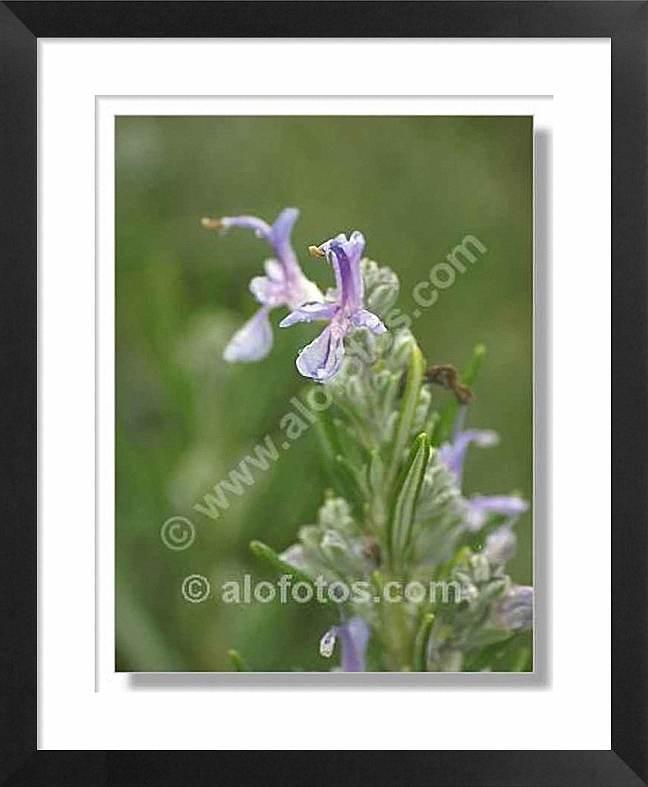 planta medicinal, Rosmarinus officinalis