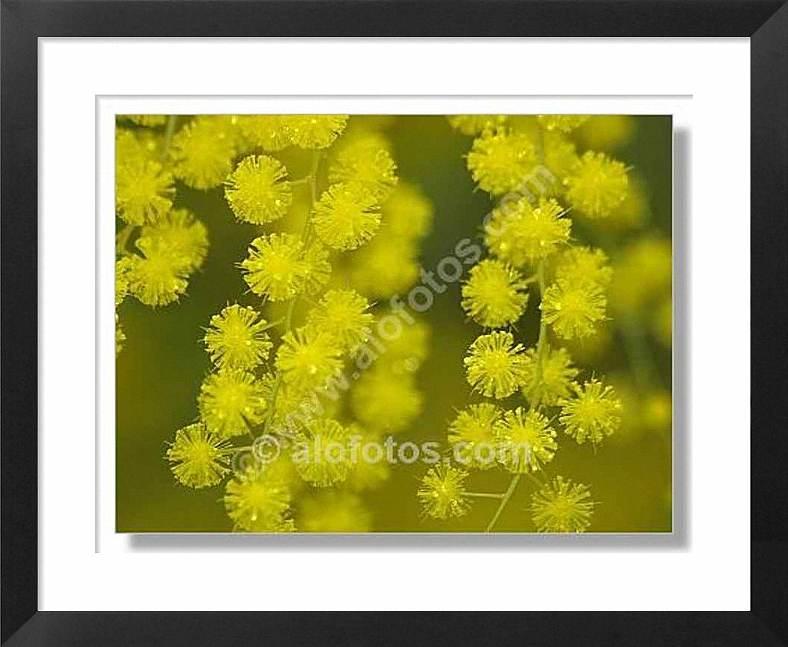 Acacia baileyana, flores amarillas