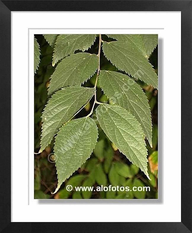 hojas, almez