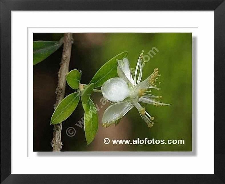 mirto, planta aromática