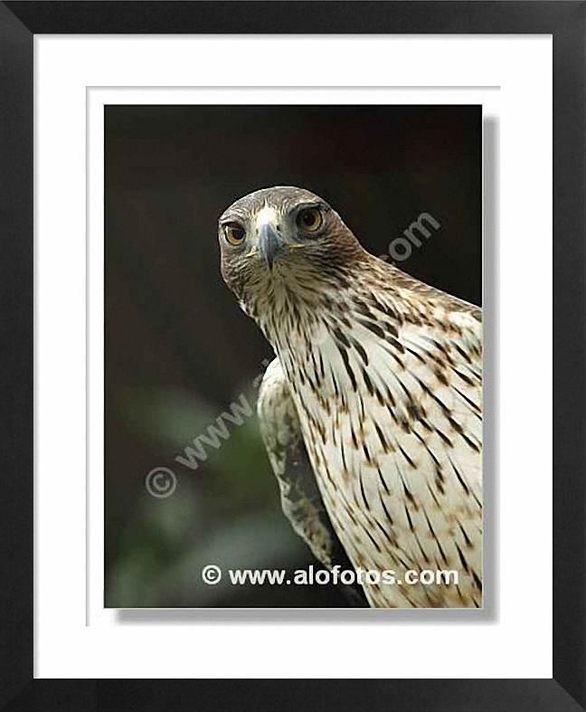 Titulo de la foto: Aguilas: Aguila azor-perdicera