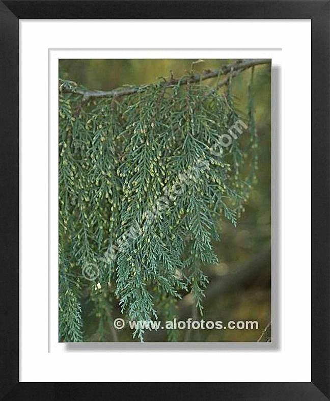 Cipres, árbol