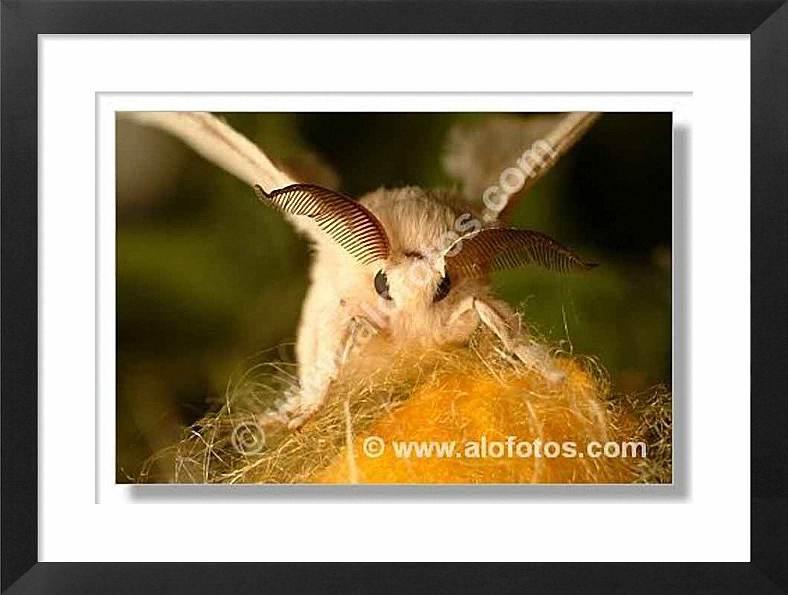 mariposa de la seda, Bombyx mori
