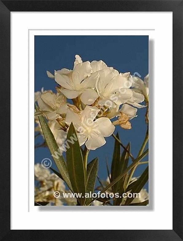 adelfa, flores, plantas toxicas