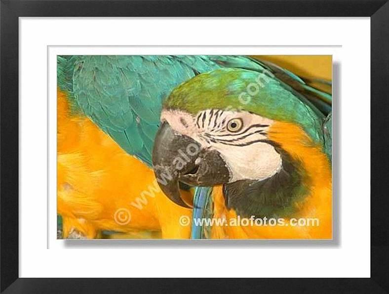 guacamayos, aves, loros