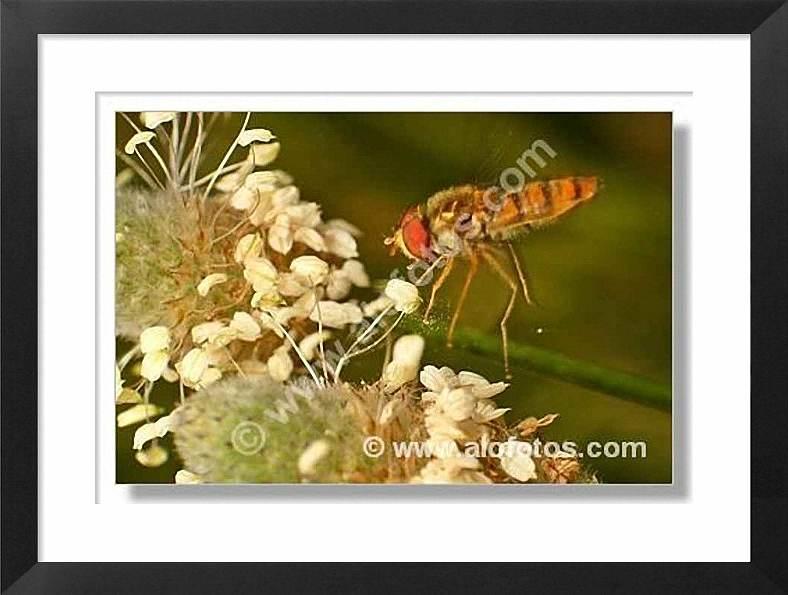 insectos, mosca sírfida
