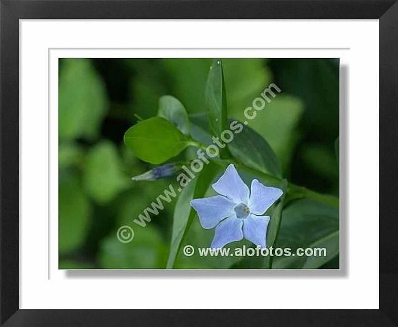 plantas medicinales, Vinca difformis