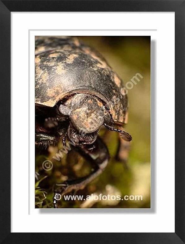 escarabajo pelotero, insectos