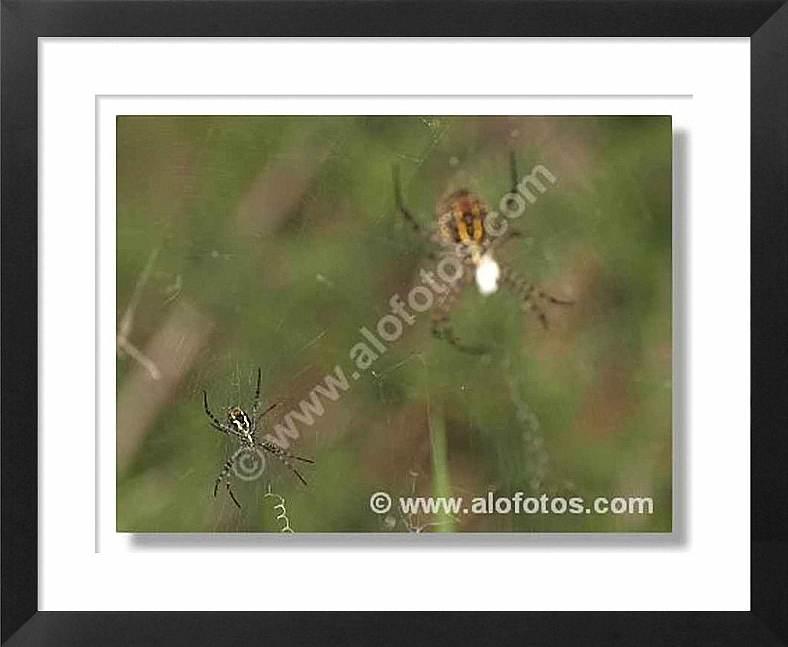 arañas, arácnidos
