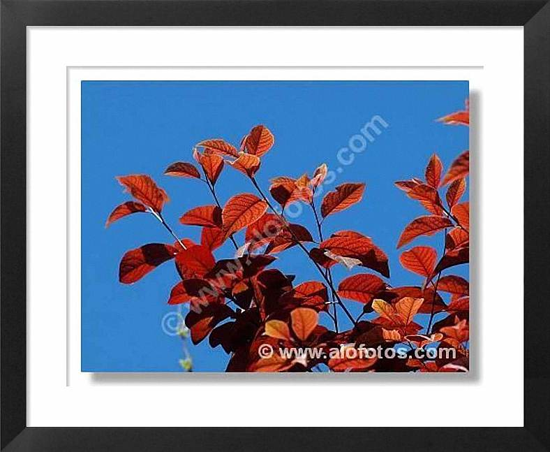 contraluz, hojas rojas, Prunus cerasifera